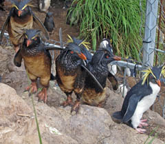 Oil-covered Rockhopper penguins on Nightingale Island. Photo by Trevor Glass.