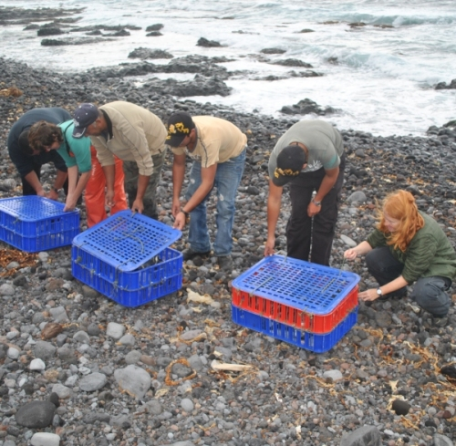 Release of first 24 Rockhopper penguins at Tristan. Photo by Trevor Glass