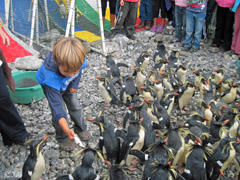 Child feeding Rockhopper penguins at rehab site at Tristan da Cunha. Photo by Tina Glass