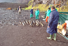 Release of 25 Rockhopper penguins on May 21st. Photo by Marina Burns
