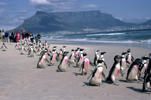 Release of cleaned and rehabilitated African penguins following the Treasure oil spill in Cape Town, South Africa. Photo by Tony Van Dalsen, DAFF